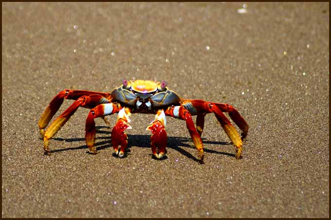 crab strolling a galapagos beach author downs jim