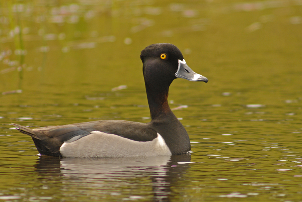 ringed neck duck author gricoskie jared