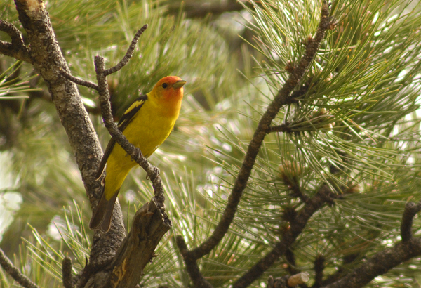 western tanager author gricoskie jared