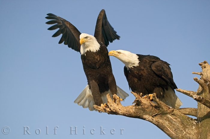 bald eagles author hicker rolf