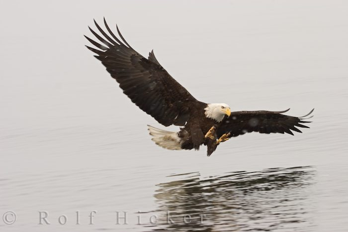 bald eagle hunting author hicker rolf