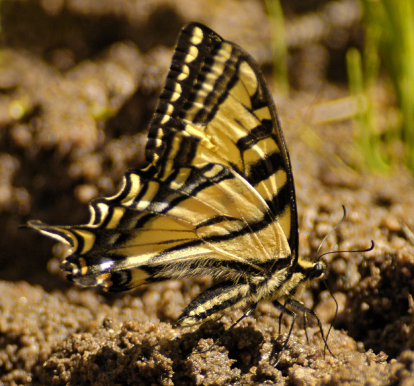 western tiger swallowtail author gricoskie jared