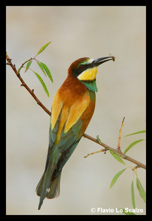 merops apiaster european bee eater author lo s scalzo flavio