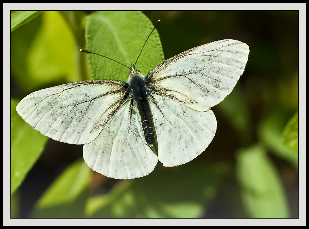 white butterfly appeared all in flight aut dube dave