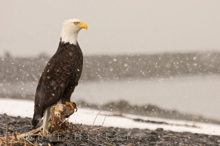bald eagle in snowstorm author hicker rolf