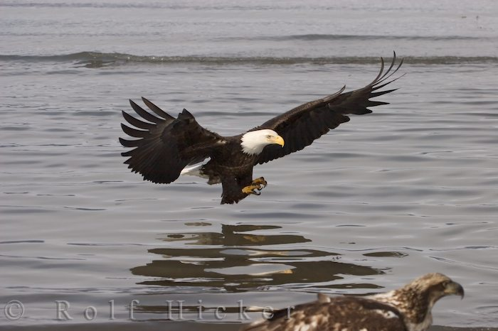 eagle coming in for a catch author hicker rolf