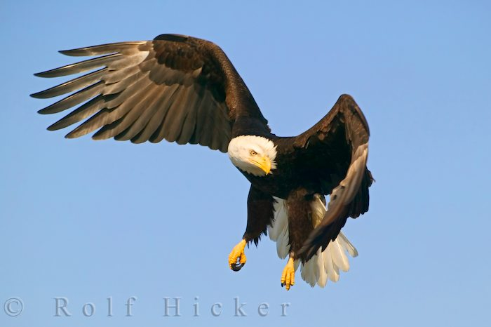 hunting bald eagle author hicker rolf