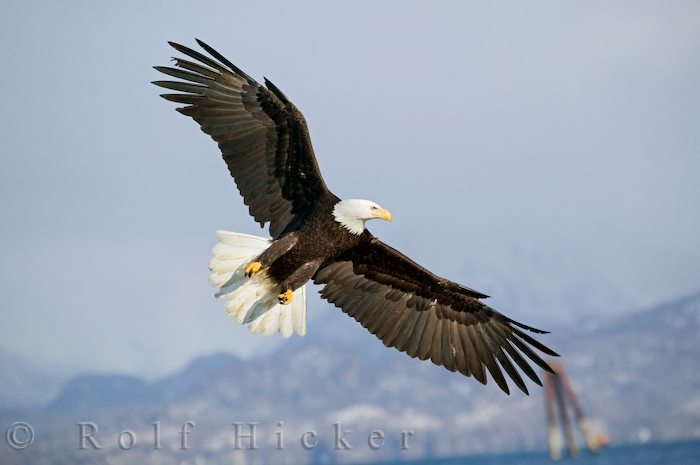 flying bald eagle author hicker rolf