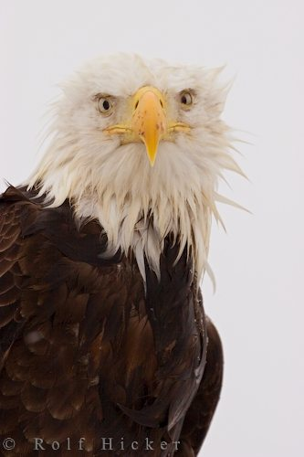 eagle portrait author hicker rolf