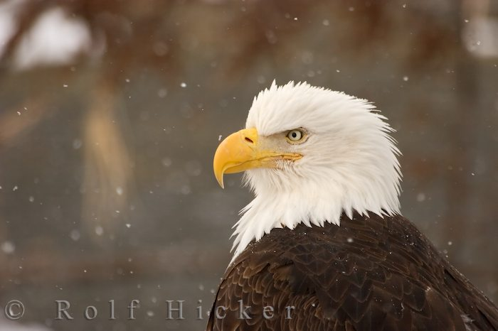 eagle portrait with snow author hicker rolf