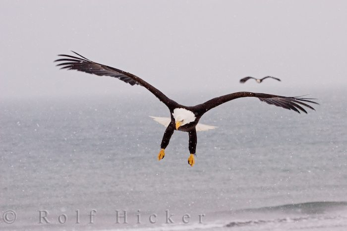eagle in flight author hicker rolf