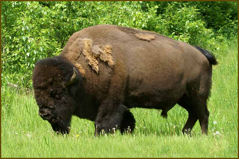 north american bison author downs jim