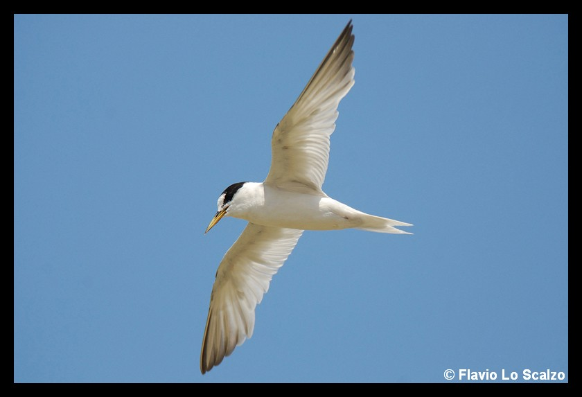 sternula albifrons little tern author lo scalzo flavio