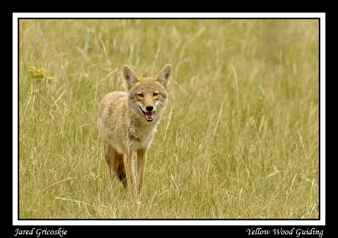 coyote smile author gricoskie jared