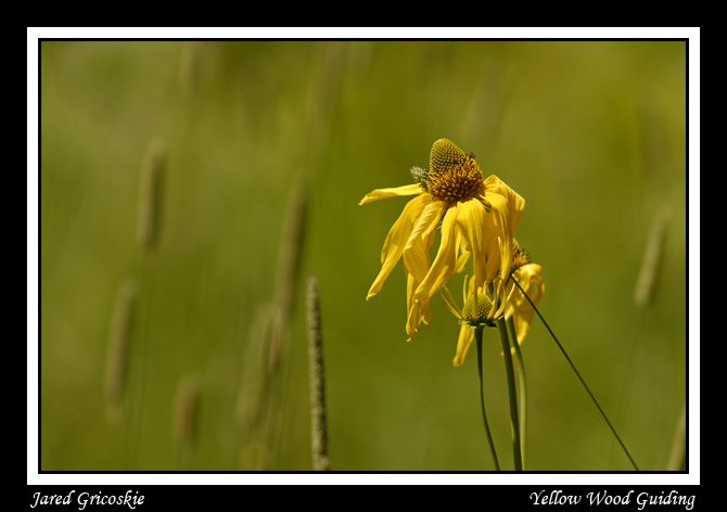 tall coneflower author gricoskie jared