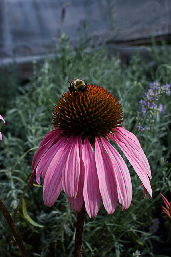 cone flower author mello phillip