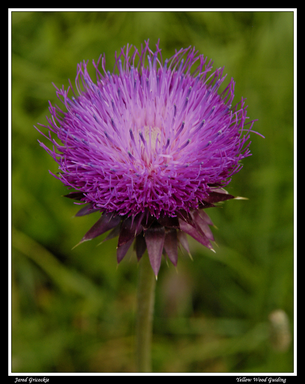 musk thistle head author gricoskie jared