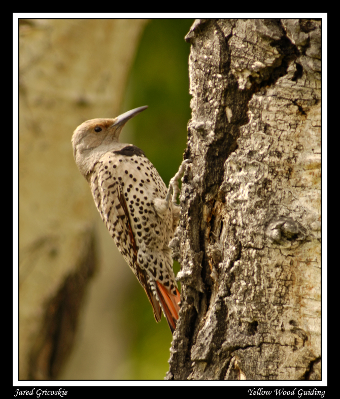 red shafted northern flicker female author gricos gricoskie jared