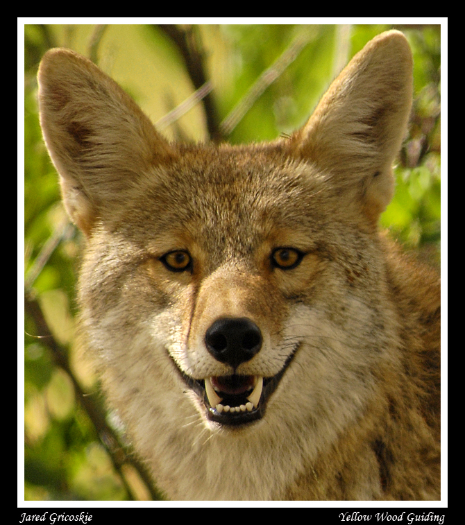 coyote face author gricoskie jared