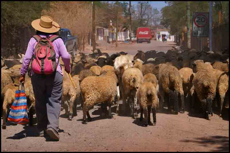taking her sheep out for a coke on hot day aut downs jim