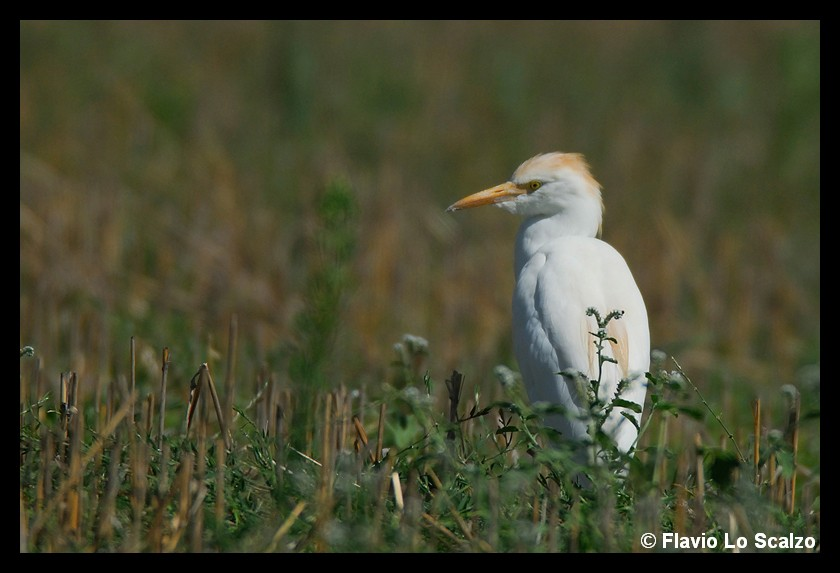 bubulcus ibis cattle egret author lo scalzo fl flavio