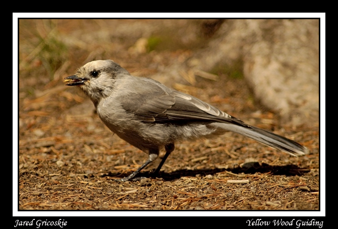 gray jay aka camper robber author gricoskie jared