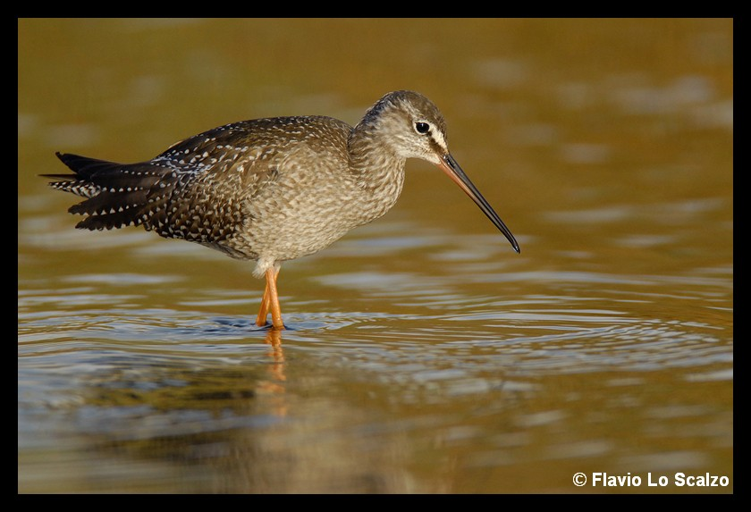 tringa erythropus spotted redshank author lo sc scalzo flavio