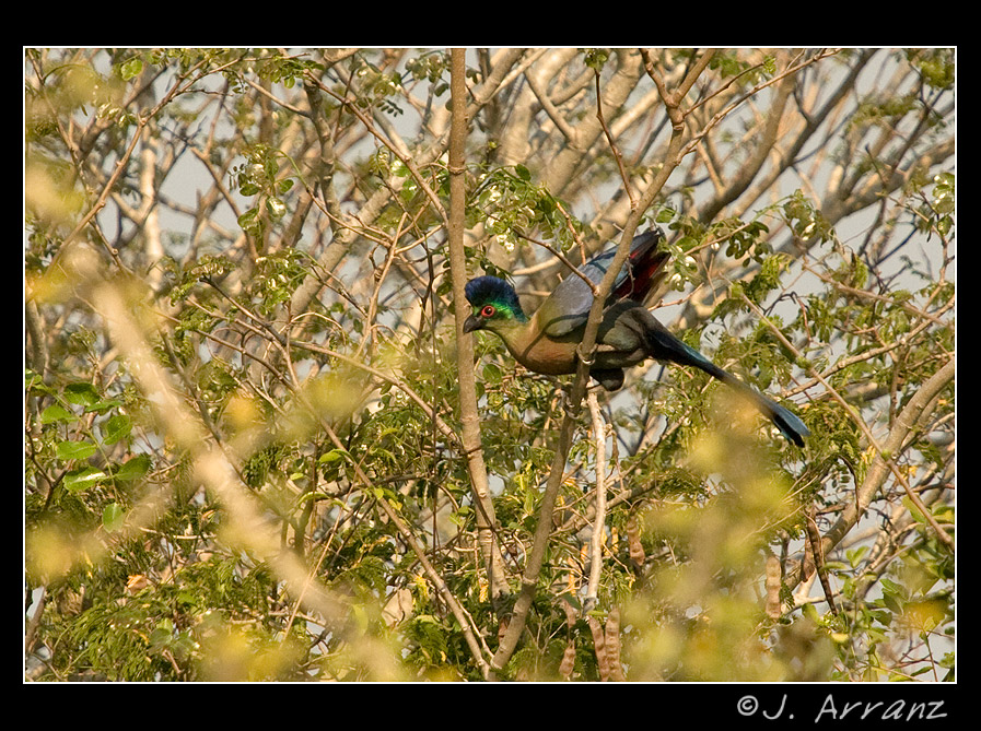 turaco de cresta purpura author arranz jess