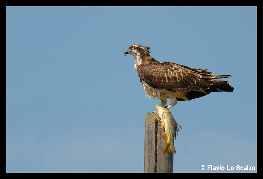 pandion haliaetus osprey author lo sc scalzo flavio