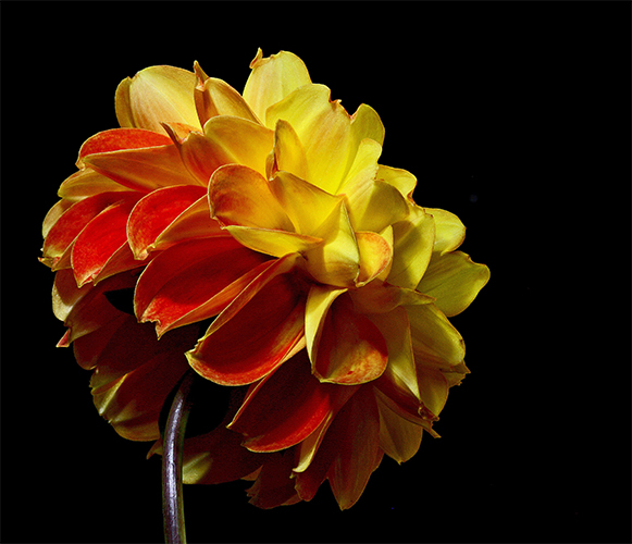 late blooming dahlia author sava gregory and ver verena