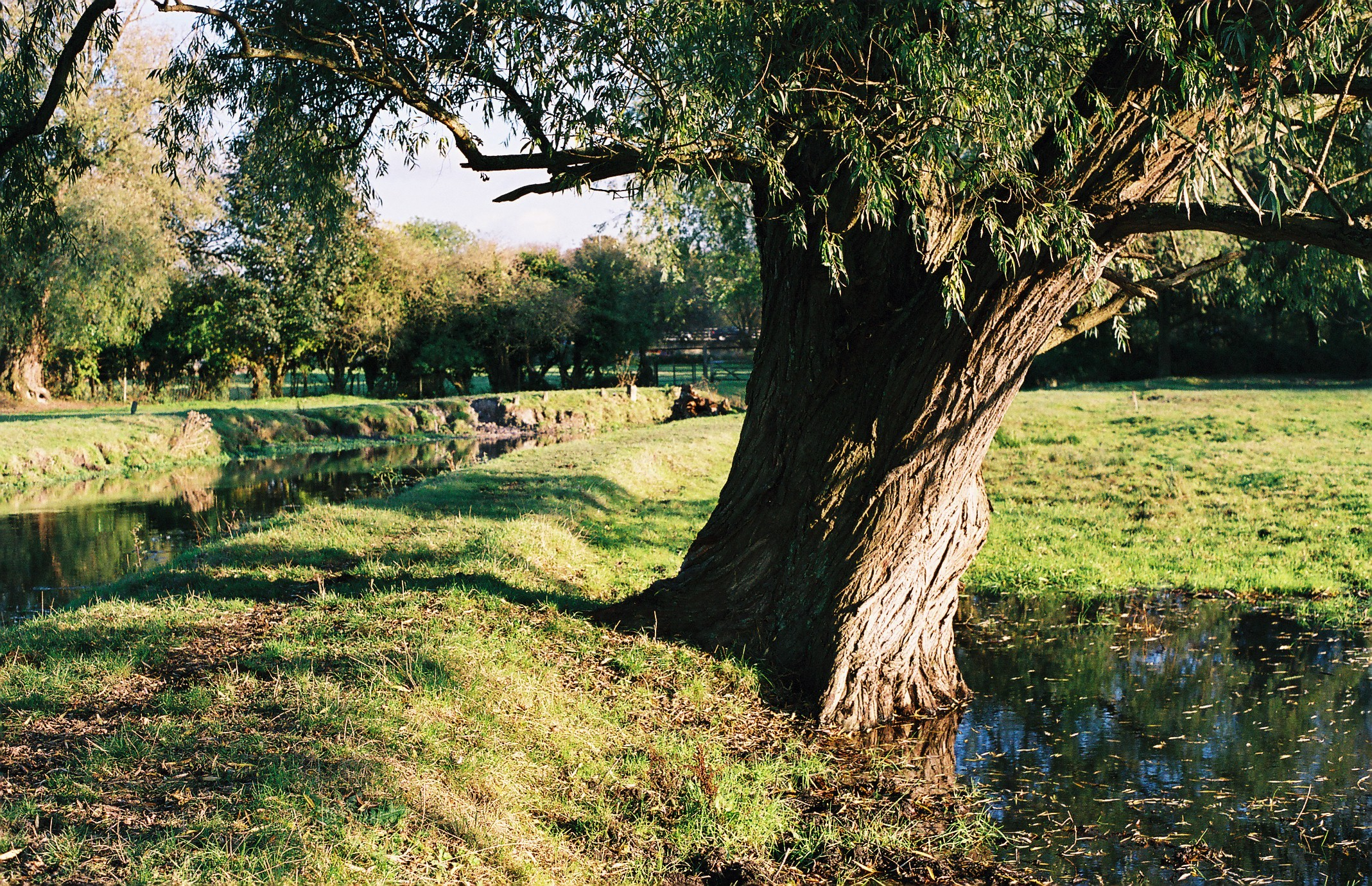 willow tree at the old watercress beds boxmoor au rance ian