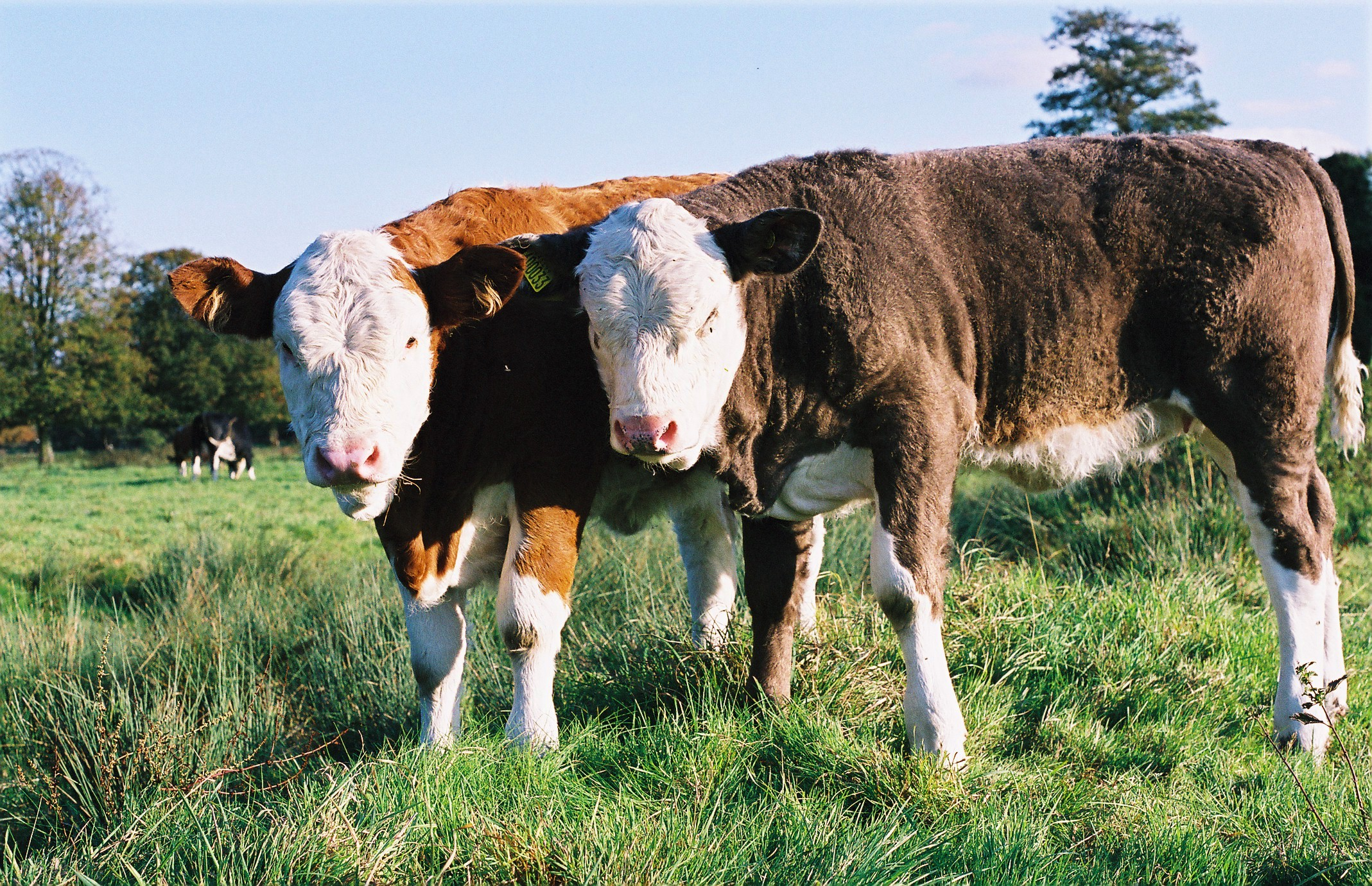 calves on boxmoor author rance ian