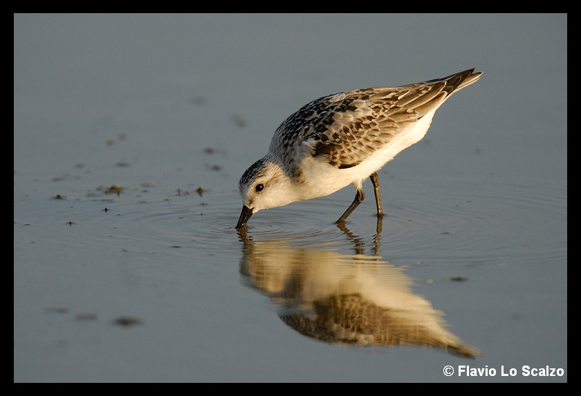 calidris alba sanderling author lo scalzo flav flavio