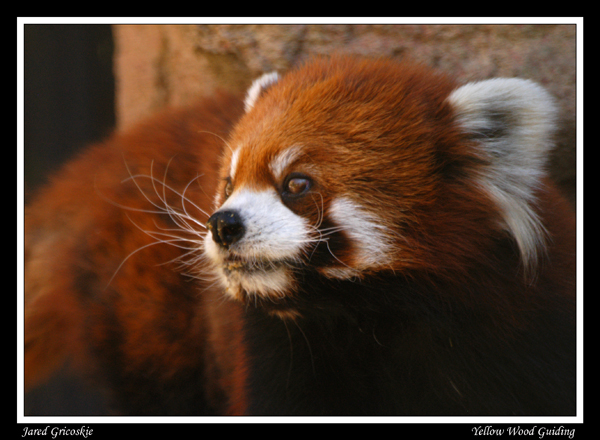 red panda author gricoskie jared
