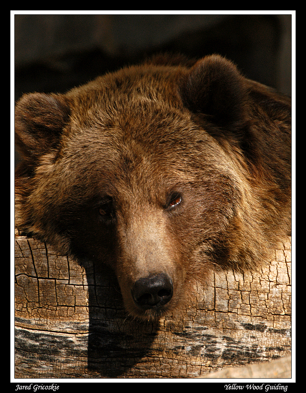 brown bear author gricoskie jared