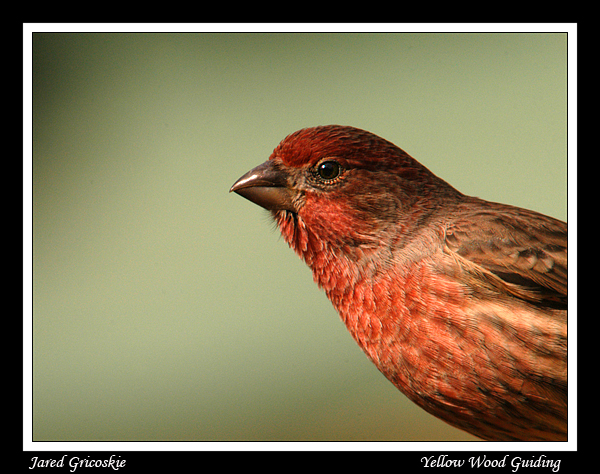 house finch portrait author gricoskie jared