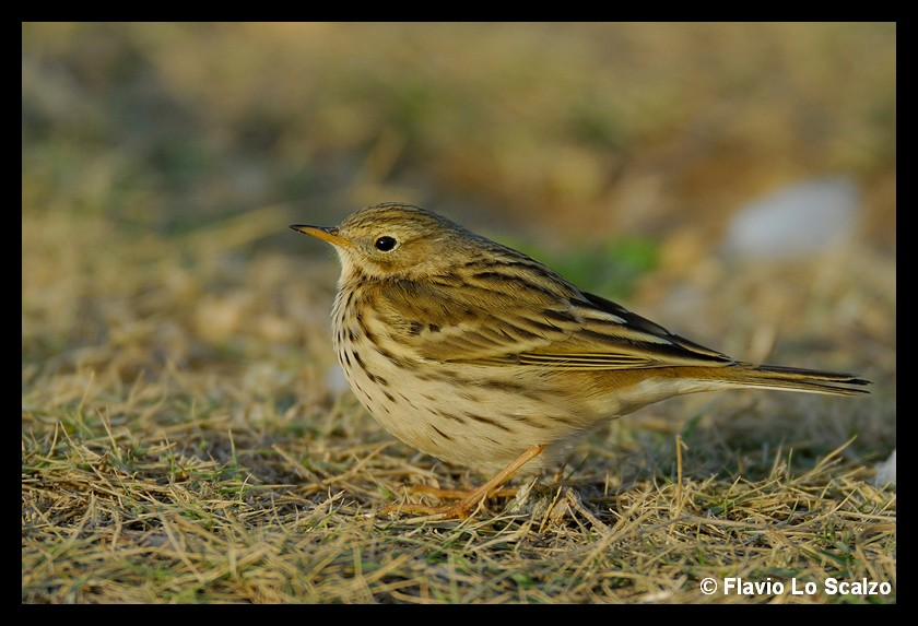 anthus pratensis meadow pipit author lo scalzo flavio