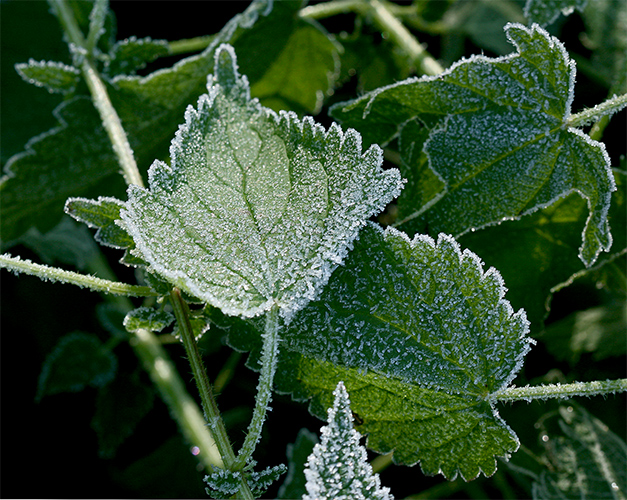 stinging nettle frozen author sava gregory and verena