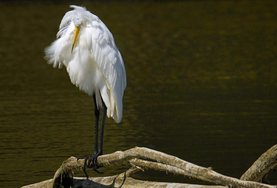 white beauty great egret author judd lil