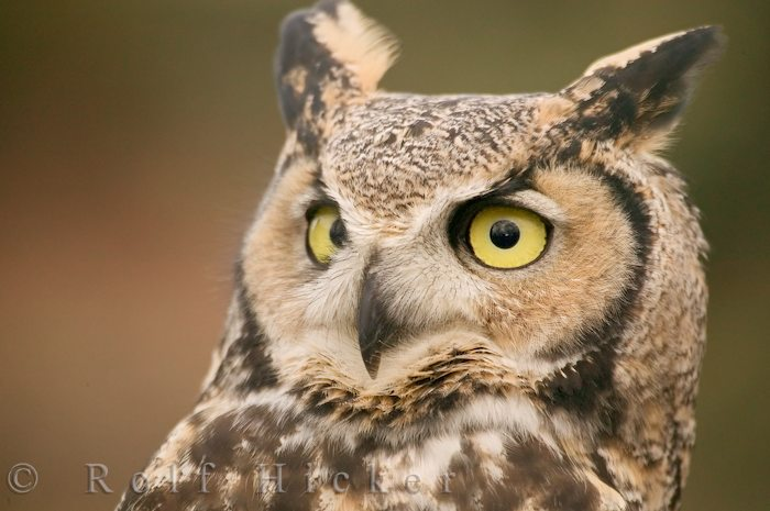 great horned owl bubo virginianus author hicker rolf