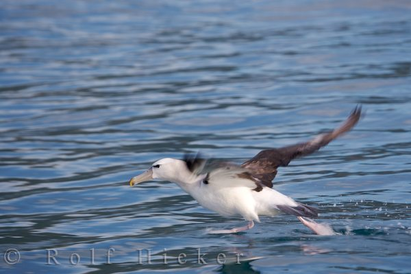 albatross during a dolphin watching tour with enco hicker rolf