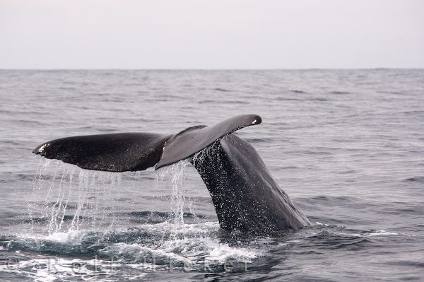 sperm whale named saddleback seen during a w hicker rolf