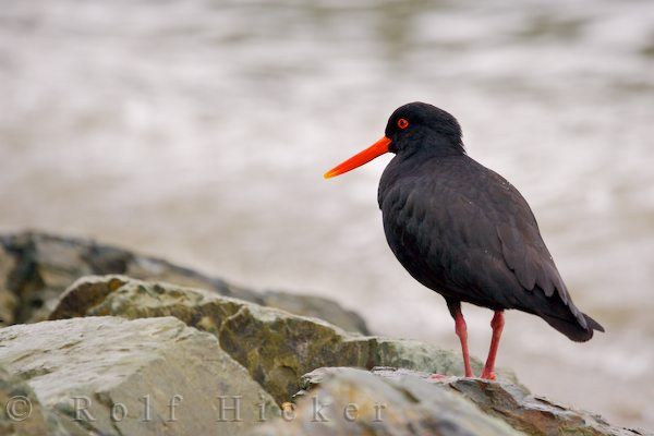 variable oyster catcher haematopus unicolor along hicker rolf