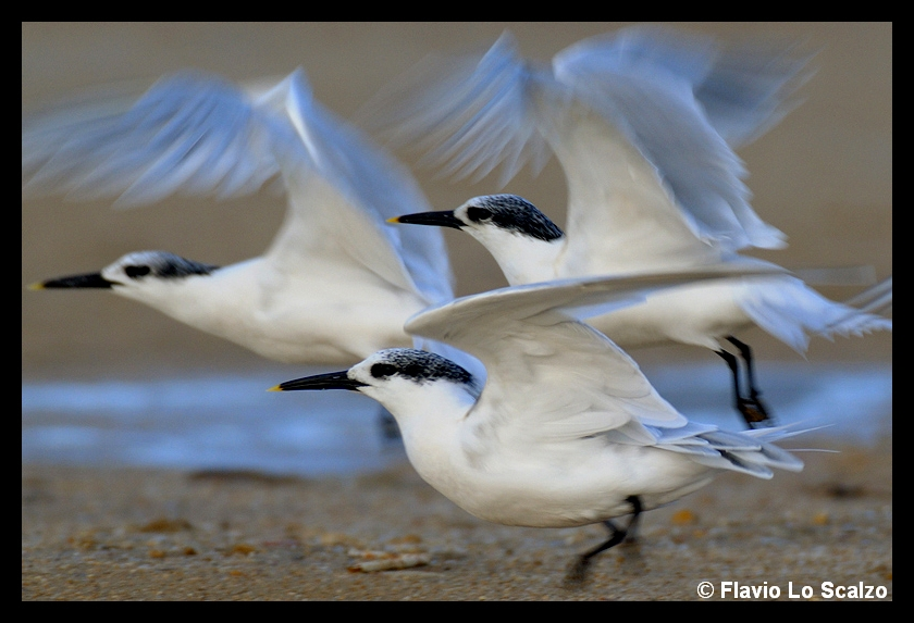 sterna sandvicensis sandwich tern author lo sca scalzo flavio