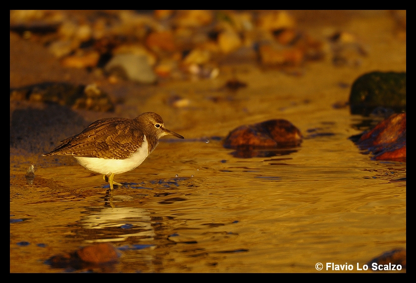 actitis hypoleucos common sandpiper ii author lo scalzo flavio