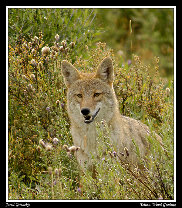 coyote in the grass author gricoskie jared