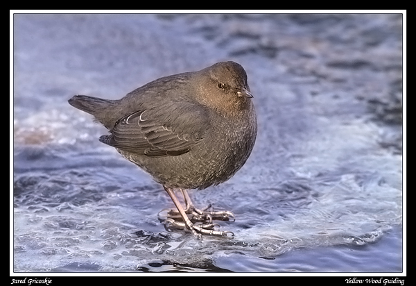 american dipper author gricoskie jared