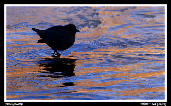 american dipper shadow author gricoskie jared