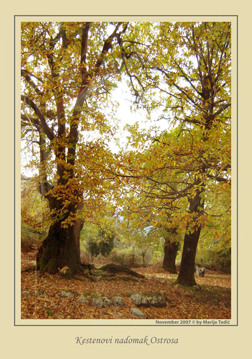 the oaks near place called ostros km from old tadic maria