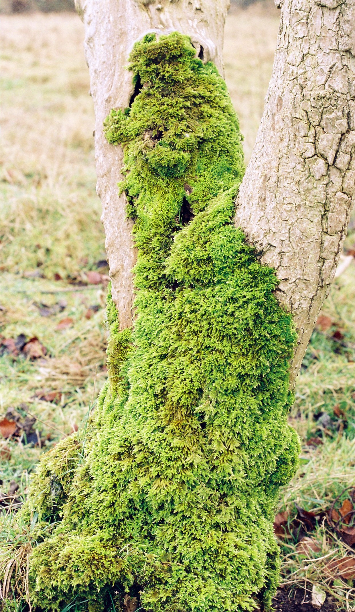 moss on a tree at ivinhghoe beacon author rance i ian